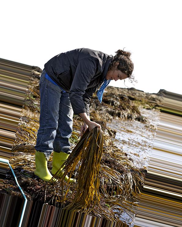 recolte-algues-lesconil-haricot-de-mer