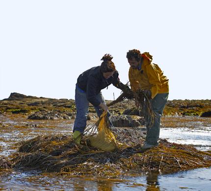 recolte-algues-bretagne